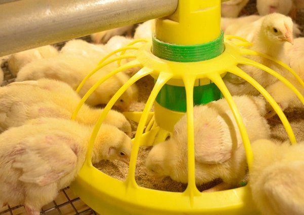 Цыплята бройлеры выращивание и уход и кормление 74