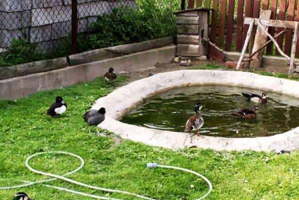 Водоём для гусей