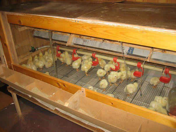 Размеры брудера для 100 цыплят своими руками