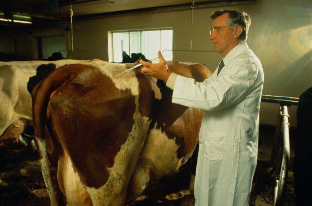Как корове укол сделать
