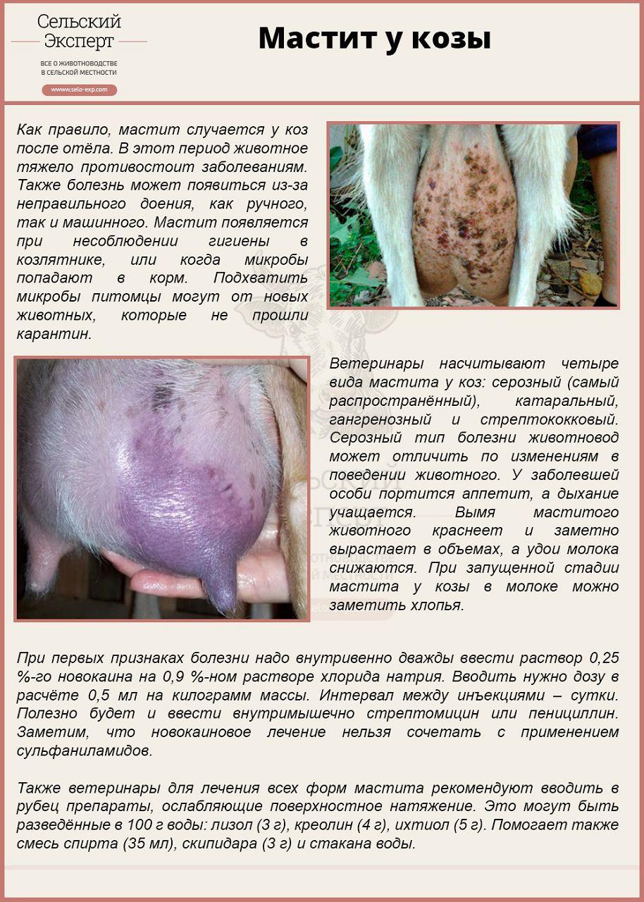 Прролечили от мастита козу молоко с гноем - Restoranberezka.ru Портал досуга и развлечений