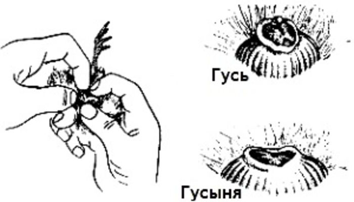 Как распознать гусака от гусыни