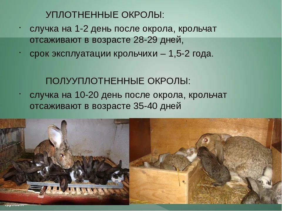 Кролики в домашних условиях размножение