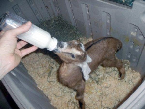 Как отучить козлят от вымени