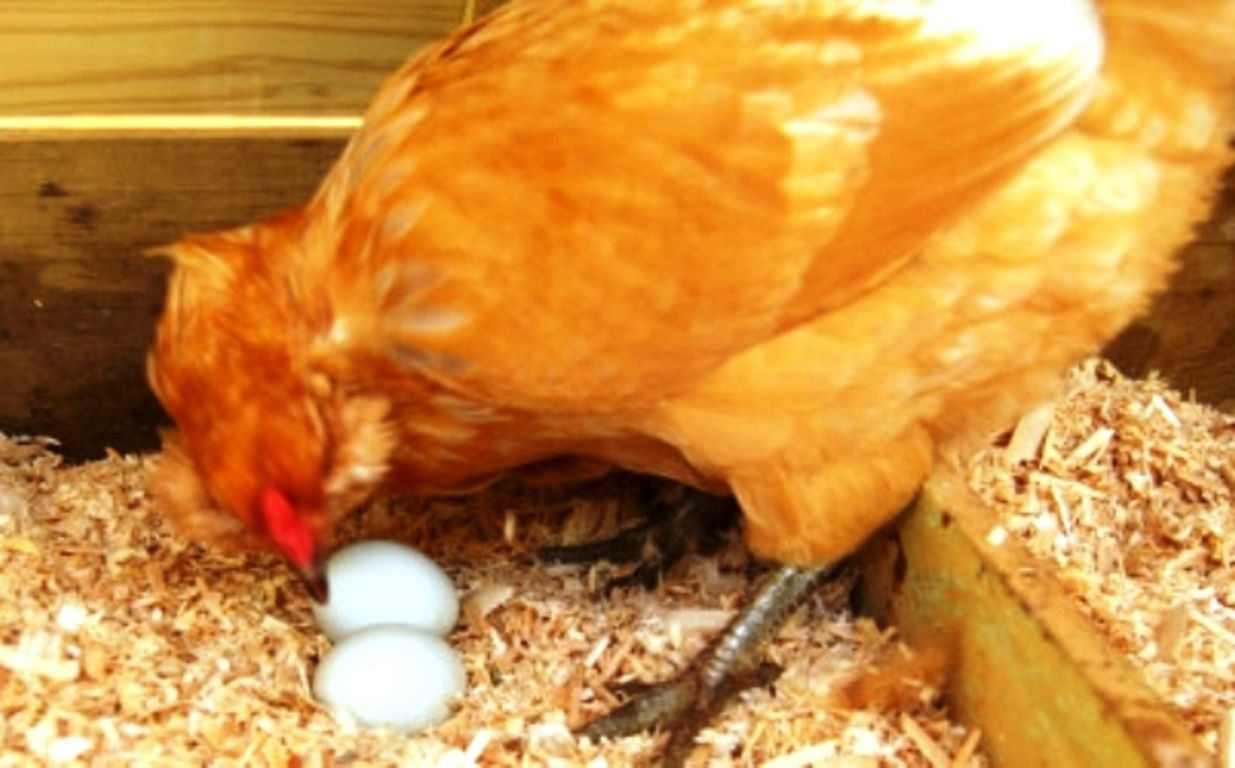 Как сделать чтоб куры не ели яйца