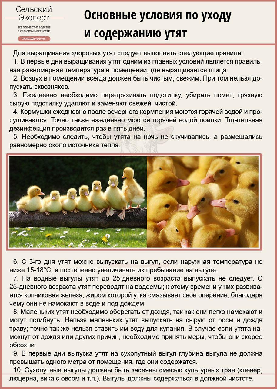 Вывод цыплят в инкубаторе в домашних условиях - таблица инкубации 36