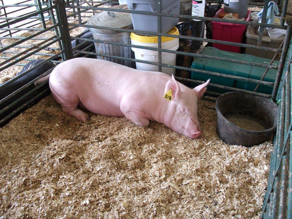 Чем кормить свиней в домашних условиях 115