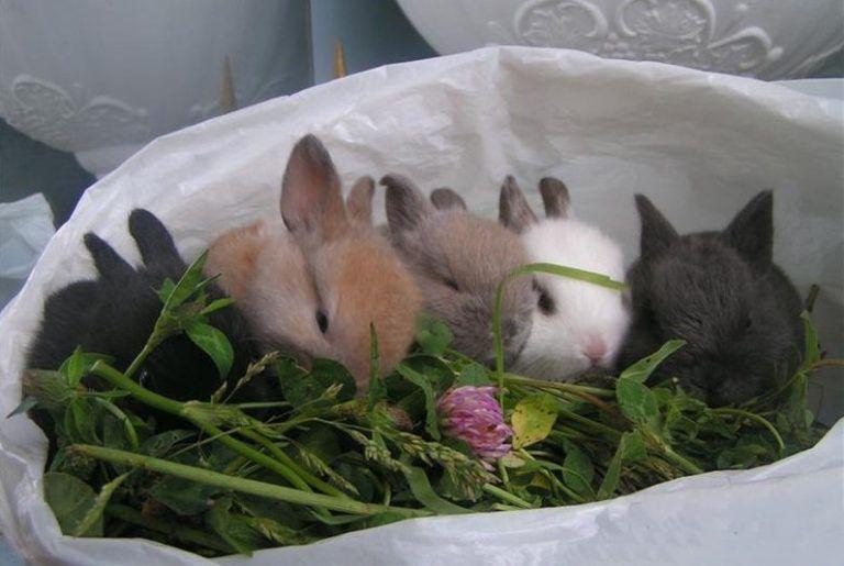Карликовый кролик содержание уход в домашних условиях 162
