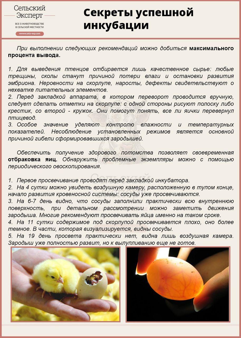 Инкубация перепелиных яиц: режим инкубации. - Инкубаторы 66