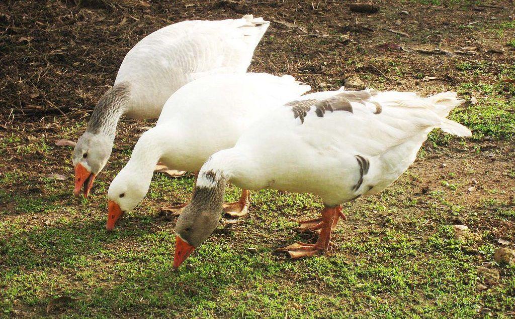 Фото как гуси едят