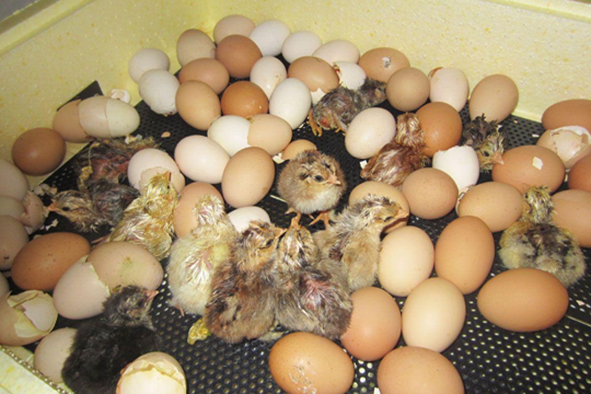 прочим, почему затяжной и не дружный вылуп цыплят для мамочек