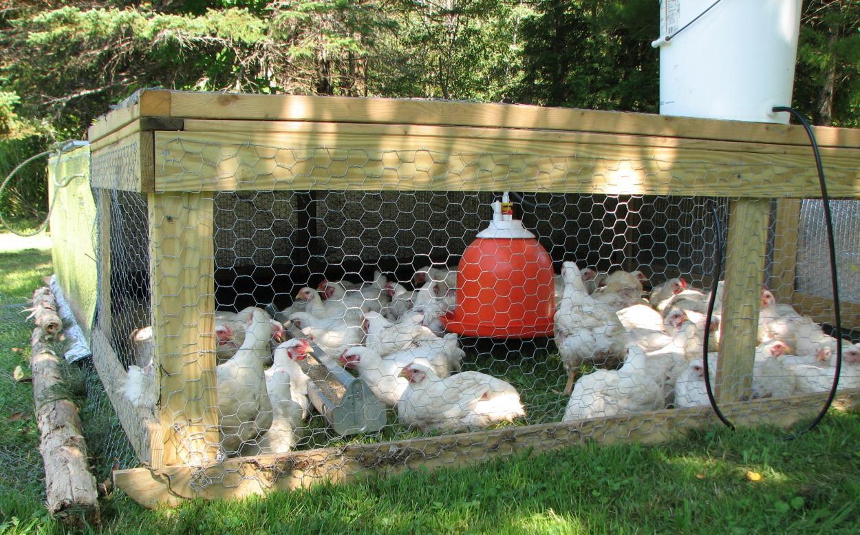 Выращивание цыплят бройлеров домашних условиях