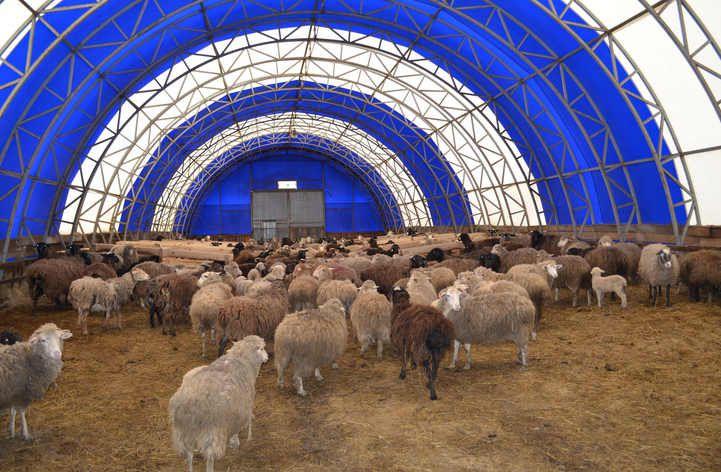 Выращивание овец в загоне 71