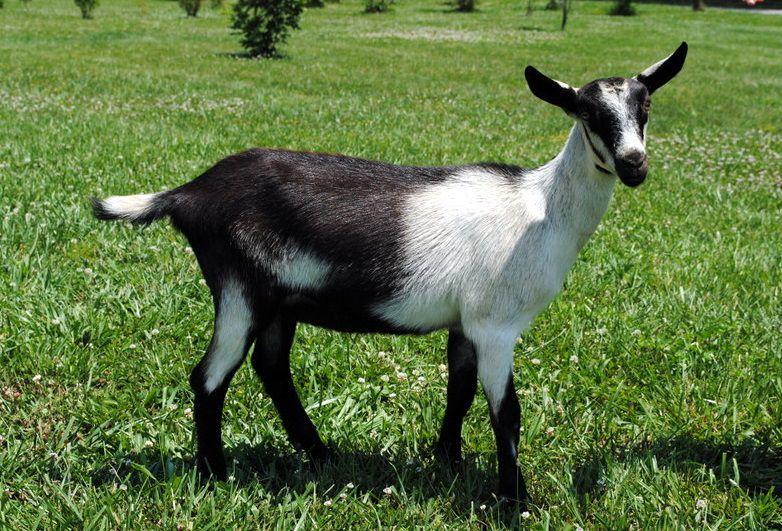 Альпийская коза популярна среди козловодов