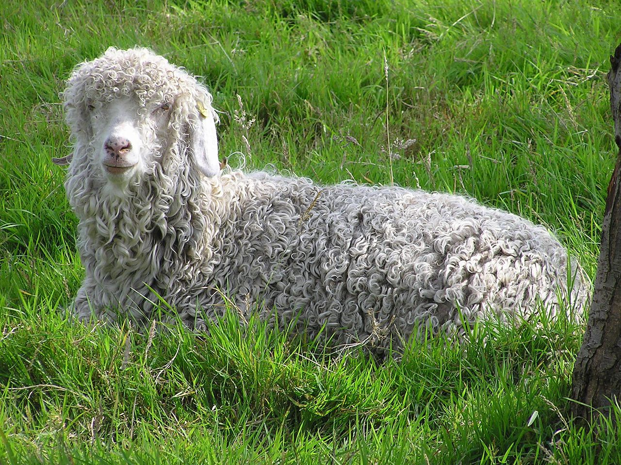 Ангорские козы нетребовательны к уходу