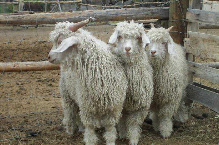 Ангорские козы не переносят сырость