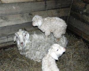 Ангорские козы плохо заботятся о своем потомстве