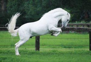 Андалузская лошадь на скаку