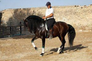 Андалузская лошадь походка