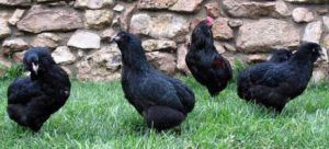 Арауканы черного окраса