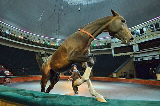 Ахалтекинская цирковая лошадь