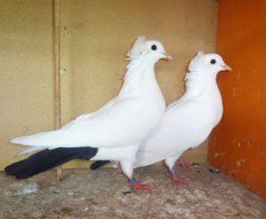 Бакинские голуби - Чернохвостые