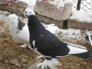 Бакинские голуби -Агбаш