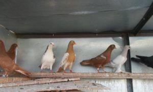 Бакинские голуби - Бронзовые