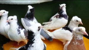 Бакинские голуби - Гривуны