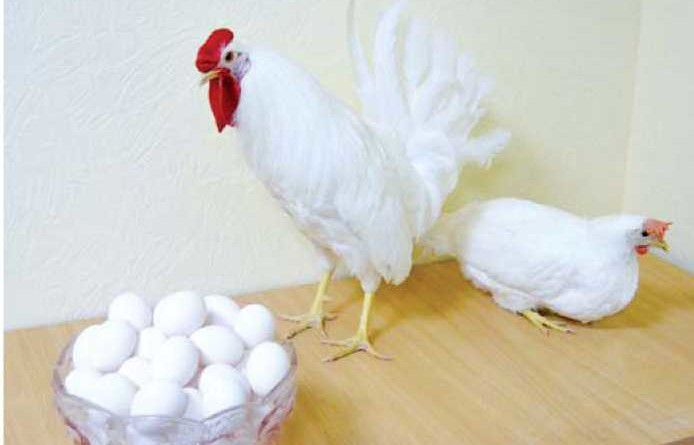 Белоснежные яйца кур Декалб Уайт