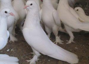 Белые бакинские голуби