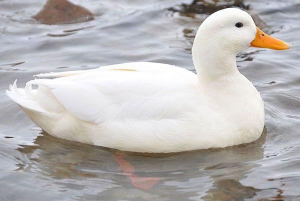 Благоварская утка должна иметь доступ к водоему