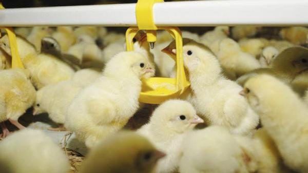 Большое скопление птицы в курятнике провоцирует рост заболеваний
