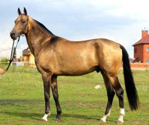Буланая ахалтекинская лошадь