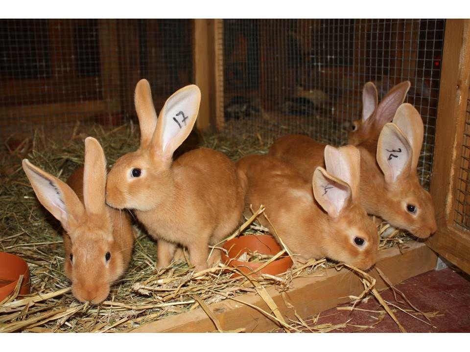 Бургундский кролик комфортно чувствуюет себя в сухих клетках без перепадов температур