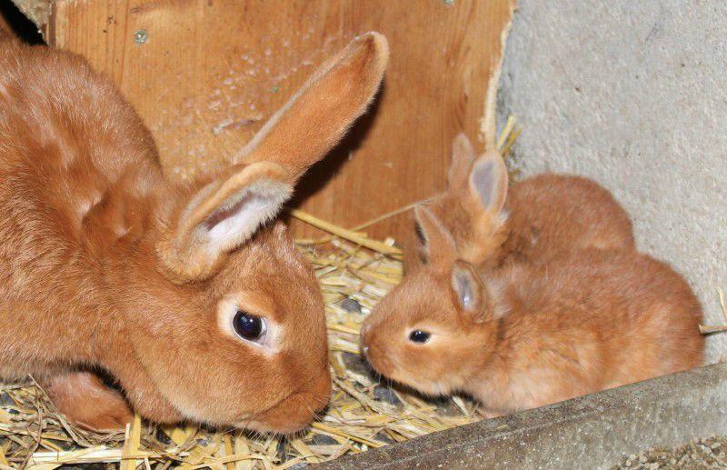 Бургундских кроликов необходимо приобретать в питомнике, чтобы они дали хороший приплод