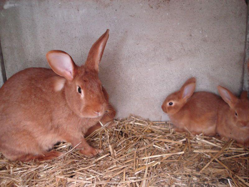 Бургундского кролика необходимо беречь от сквозняков