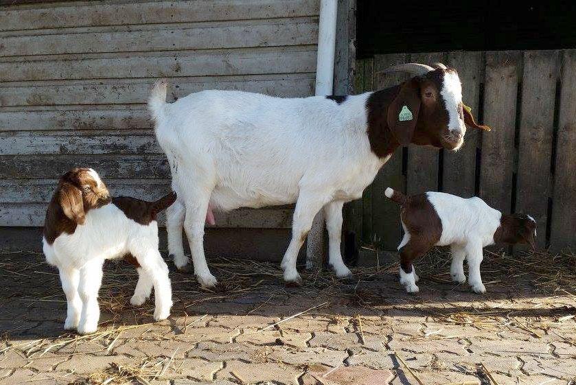 Бурская коза имеет развитый материнский инстинкт