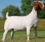 Бурские козы долго адаптируются к холодному климату
