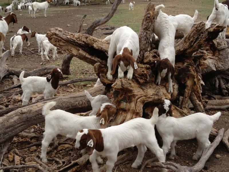 Бурские козы плохо переносят холод