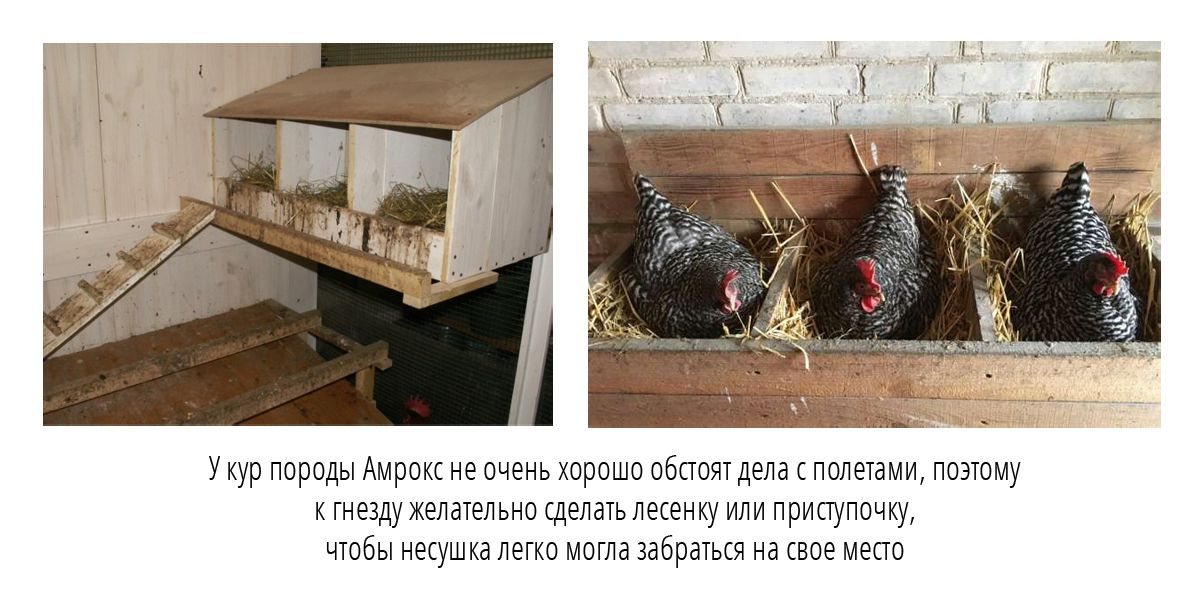 Важный момент при постройке гнезда для несушки Амрокс