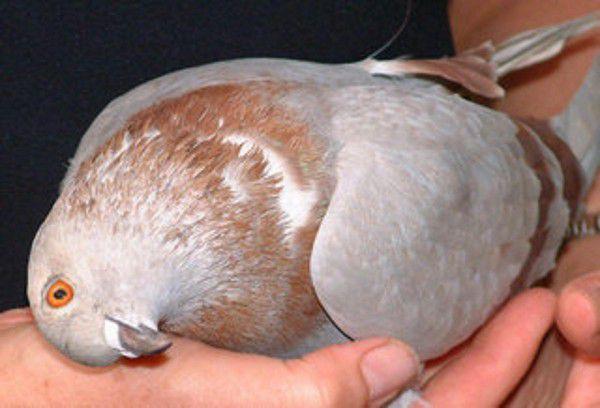 Крыло голубя и шишки лечение голубиных болезней