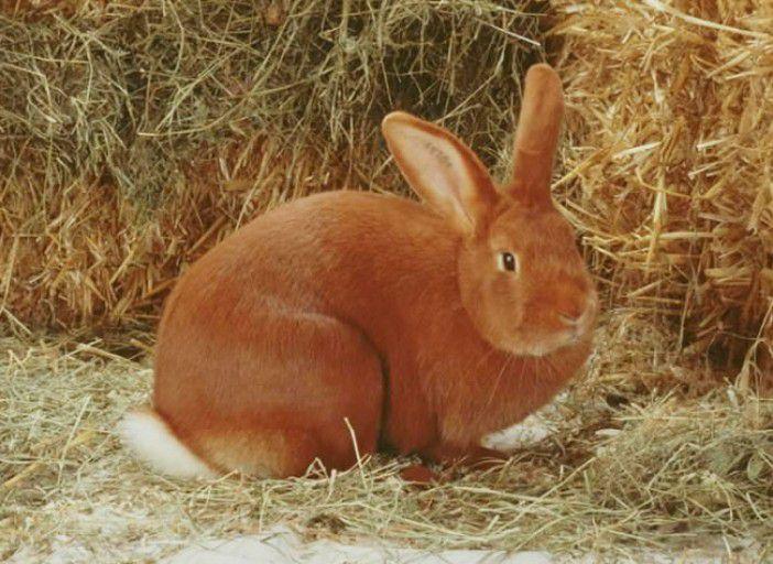 Вес взрослого кролика достигает 3-4 кг