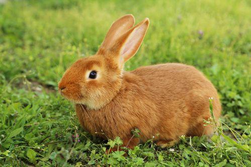 Во Франции существует клуб заводчиков бургундских кроликов
