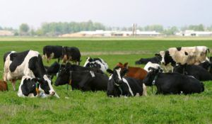 Выпас скота в низинах и на заболоченных лугах повышает вероятность заражения скота Аctinomyces bovis