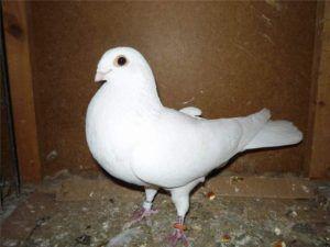 Высоколетные Бакинские голуби