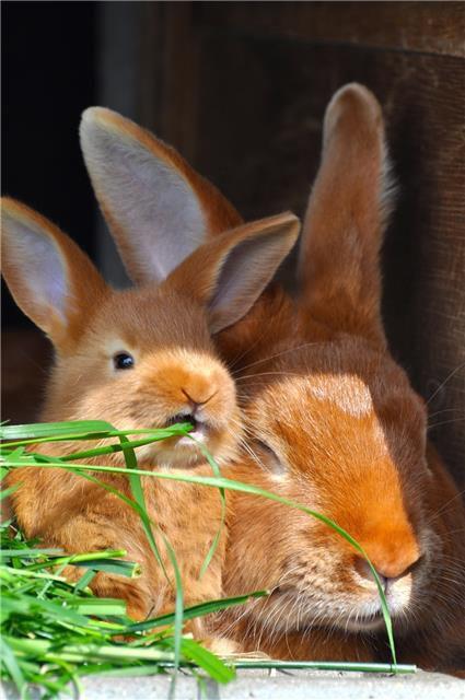 В России бургундский кролик пока не получил широкого распространения