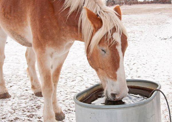 В поилке у лошади всегда должна быть чистая вода