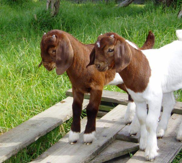 В течение первого месяца бурских козлят необходимо кормить 4 раза в сутки