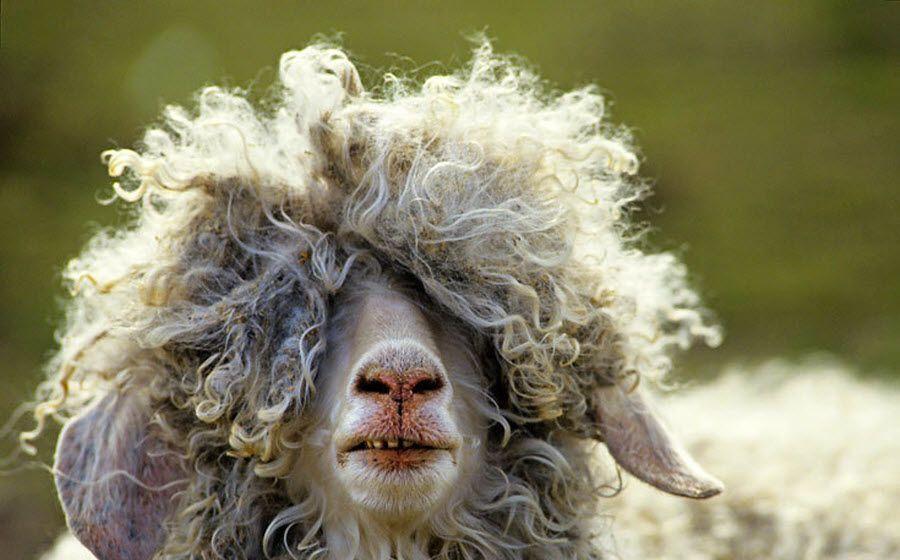 Голова ангорской козы длинная, горбоносая